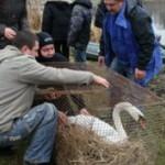 В селе Лавров спасли раненого лебедя