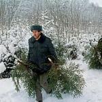 Уже продано более 68 тысяч волынских елок