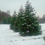 На Волыни задержали 76 воров елок